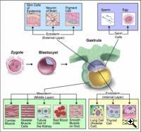 Cell differentiation from zygote to three germ layers  Credit: NCBI