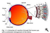 Eye structure  Credit: University of Utah