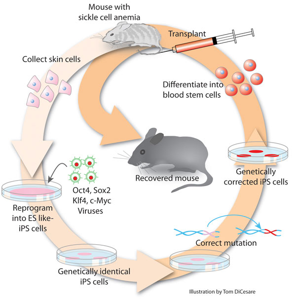 induced pluripotent stem cells iPS