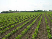 Soy field - green printing on the horizon?