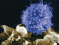 T-cell (Credit: UC Berkeley Lab)