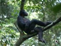 Camillo is the highest ranking male Bonobo of the study group. He is often seen in his mother's company. (Source: Caroline Deimel, Lui Kotale Bonobo Project)