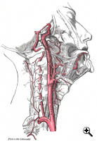 A diagram of carotid artery placement. (Source: Thomas Gray/Gray's Anatomy)
