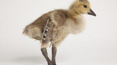 The World's First Bionic Goose