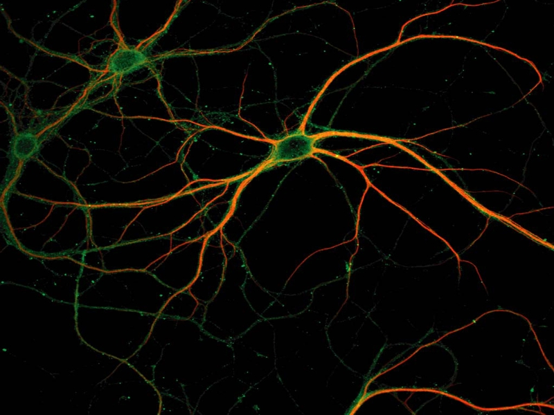 neurons pathway organization connections - 800×600