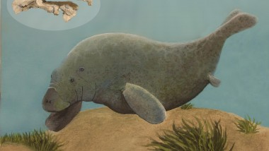 Ancient Pygmy Sea Cow Discovered