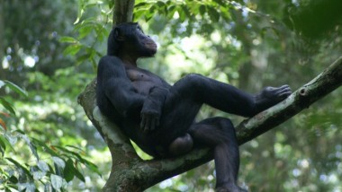 Maternal Support Affects Bonobos' Mating Success